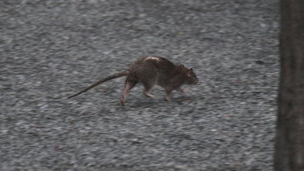 Coronavirus: ci sono più topi per le città