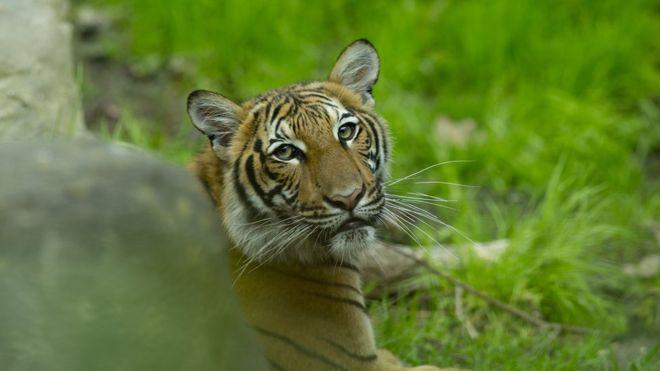 Coronavirus: un tigre è risultata positiva al Covid-19
